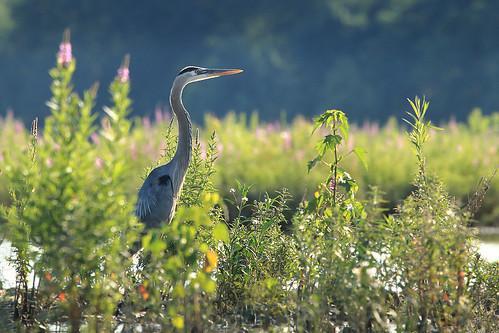 bird heron water wildflowers greatblueheron maumee shorebird maumeeriver