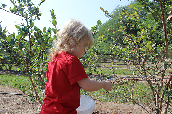 berry picking 006