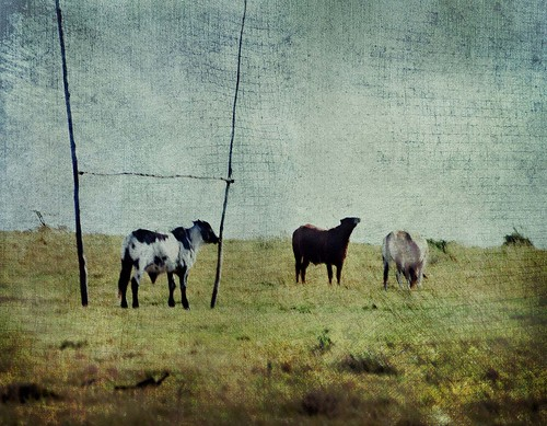 texture field rural southafrica cows rugby soccer easterncape cathairstudio nottheworldcup thelittledoglaughedstories