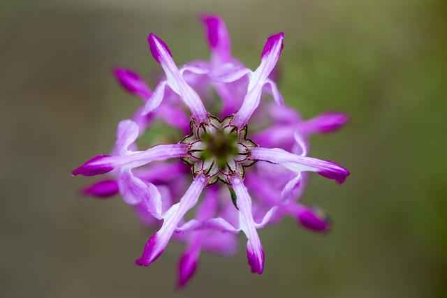 レブンシオガマ / Pedicularis japonica