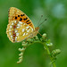 High Brown Fritillary Argynnis adippe
