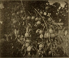 "Image from page 7 of ""Southern California farms and industries ... Santa Fe"" (1901)"