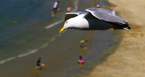 ocean sea france bird eye beach water look saint birds canon freedom coast fly flying sand brittany europe dof view bokeh seagull salt bretagne atlantic breizh motionblur bikini 1750 looks shallow 80 meeuw stmalo birdview 105mm 24105mm almostsharp frankvandongen