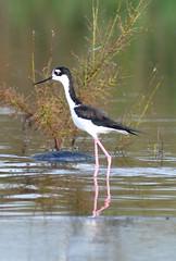 wetland, animal, fauna, reflection, stilt, shorebird, beak, bird, wildlife,
