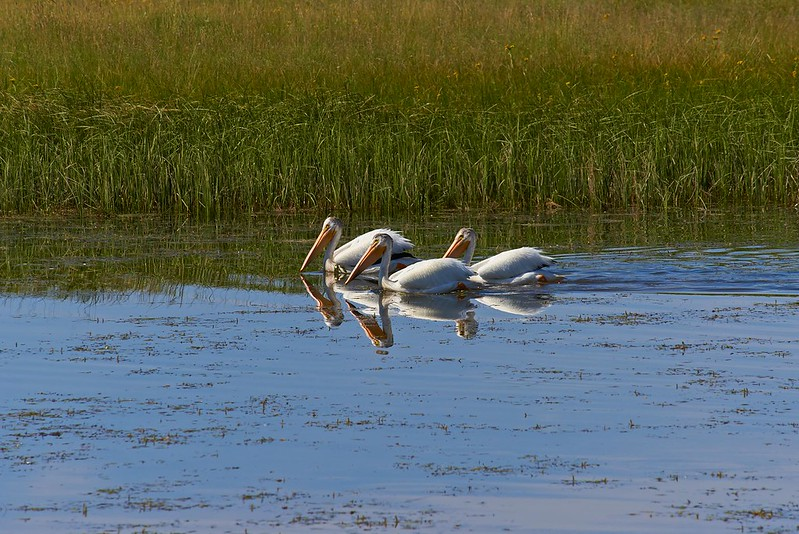 American white Pelicans - Yellowstone National Park