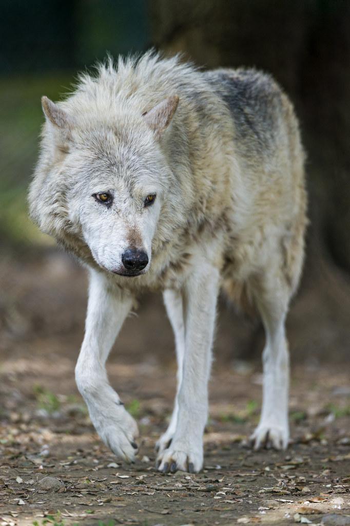 Cute walking timberwolf