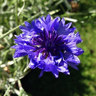 Must remember to plant cornflowers next summer.