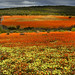 The wildflowers of Namaqualand by Martin_Heigan