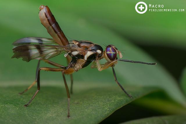 Fruitfly (Adrama sp.)