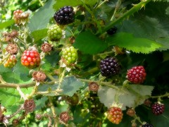blackberry, evergreen, berry, red mulberry, plant, wine raspberry, fruit, boysenberry, dewberry, mulberry, bramble,
