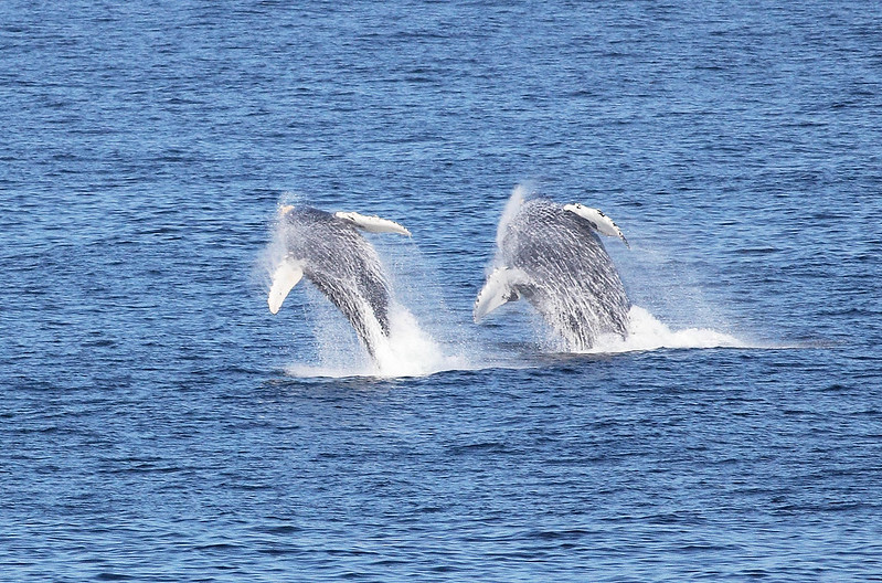 Humpback Whale Double Breach
