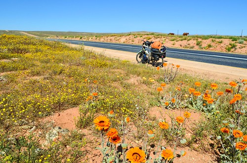 Flower season on the roads of Northern Cape, South Africa