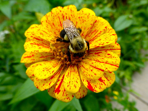Bee with zinnia