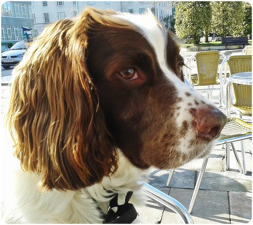Patchi... our Springer Spanial