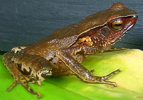<i>Rhaebo andinophrynoides</i> Sapo Andino ♀