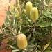Banksia menziesii, lemon form by synandra14