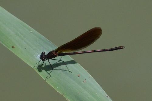 Calopteryx haemorrhoidalis ♀