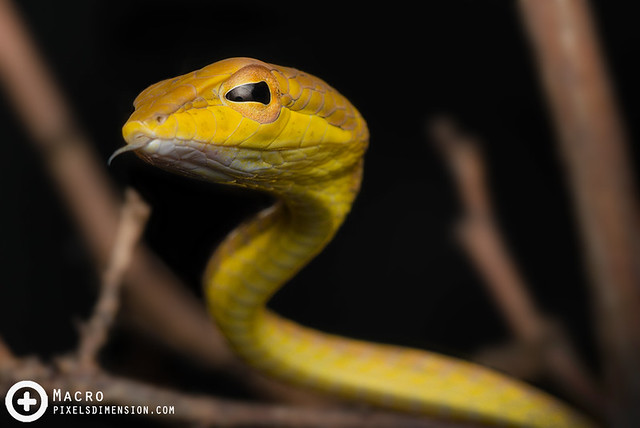 Oriental vine snake- Ahaetulla prasina