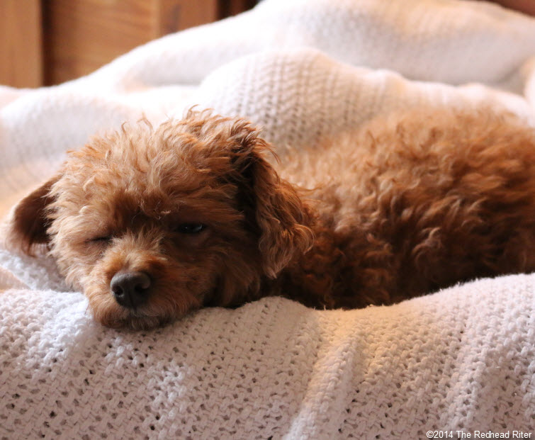 sleeping red toy poodle white blanket - Committed, Understanding, Comforting And Loves Me Unconditionally