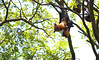Giant golden-crowned flying fox