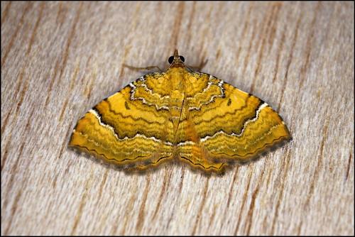 Traça (Camptogramma bilineata) - Yellow Shell Moth