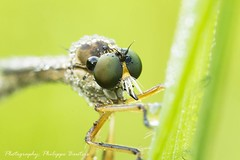 robber fly eyes