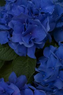 新潟県立植物園 アジサイ展