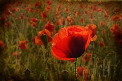 Hallow Poppies