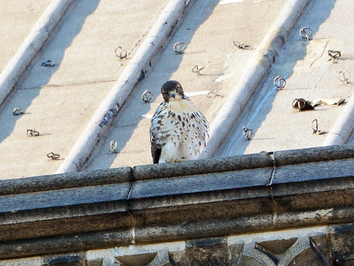 Cathedral Hawk Fledgling - 2865