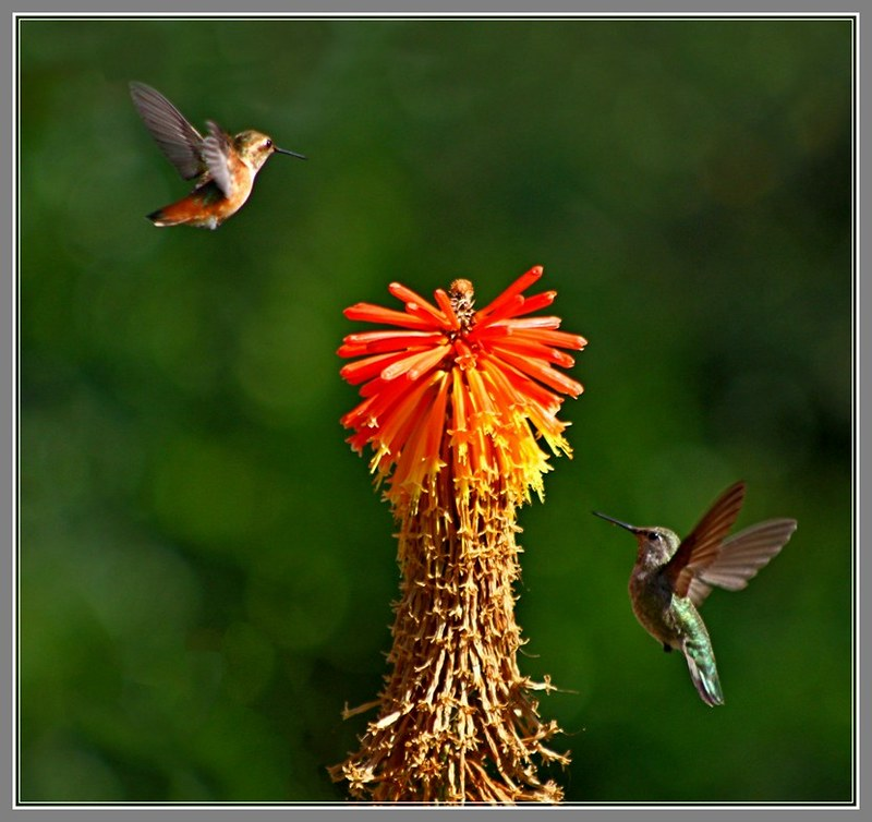 碰巧拍到兩隻蜂鳥在一起