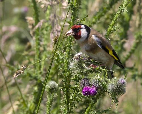 goldfinch on thistle 382  (49)