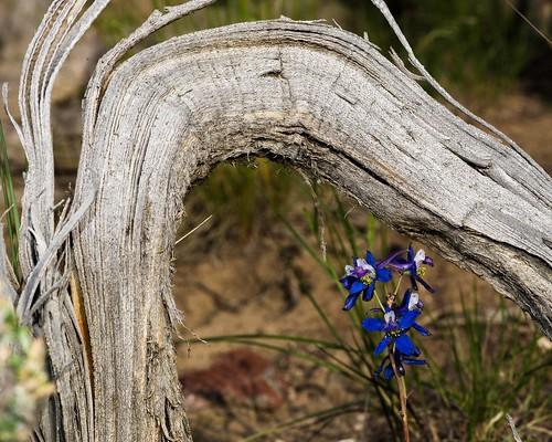 nevada delphinium ranunculaceae whitepinecounty whitepinerange delphiniumandersonii andersonslarkspur
