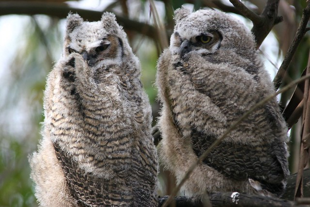 two fledgling great horned owls.