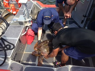Crew members from Coast Guard Station Fire Island rescue a severely injured 3-foot Loggerhead Sea Turtle in Fire Island Inlet, July 10, 2014. The boatcrew recovered the turtle and transported it back to the station before it was transferred to the Riverhead Foundation for Marine Research and Preservation. (U.S. Coast Guard photo by Seaman Owen Rosenthal.)
