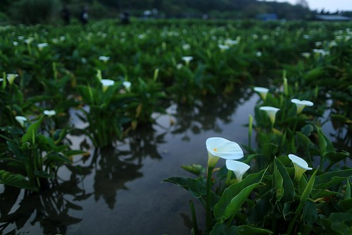 park flowers light lake mountains flower color beautiful fog clouds sunrise calla top tian earlymorning taiwan lilies national valley bloom taipei nightview bluehour temperature 台灣 geothermal 陽明山 magichour 風景 valleyview yangmingshan alocasia 竹子湖 七星山 台北市 callalilies 海芋 大屯山 日出 zantedeschiaaethiopica tatun 海芋田 landscapephotography colortemperature 霧 陽明山國家公園 山谷 花田 jhuzihhu 山色 macrorrhiza 地熱谷 qixingshan 風景攝影 頂湖 馬蹄蓮 mountainsvalley 谷景 jhuzihhulake