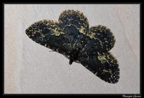 Inégale (Parascotia fuliginaria)