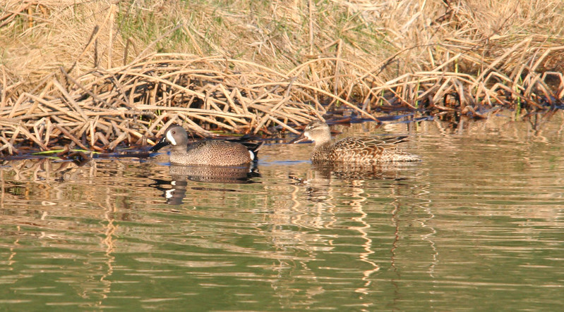 blue winged teal 01