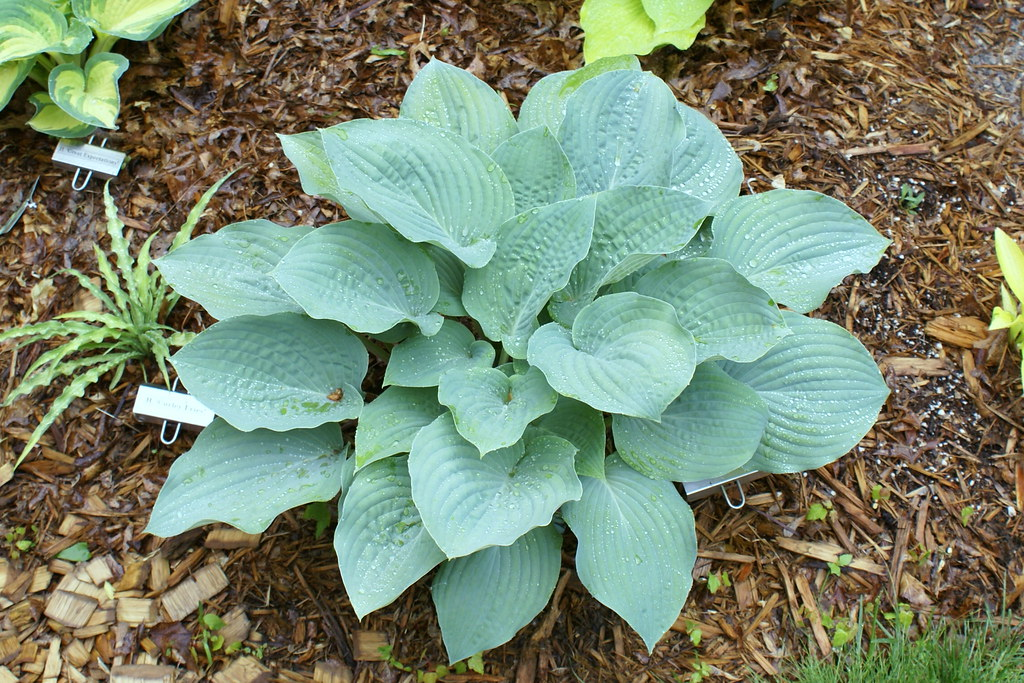 Hosta 'Blueberry Muffin' (11)-1