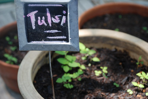 Tulsi / Holy Basil