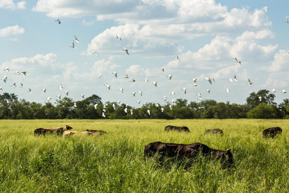 Garcitas Bueyeras (Bubulcus ibis) se alejan del ganado vacuno, una de las especies de garzas blancas usualmente relacionadas al ganado, ya que se alimentan de los insectos que se encuentran sobre estos animales.(Andrea Ferreira)