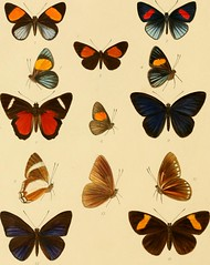"Image from page 13 of ""Rhopalocera exotica ; being illustraions of new, rare, and unfigured species of butterflies"" (1887)"