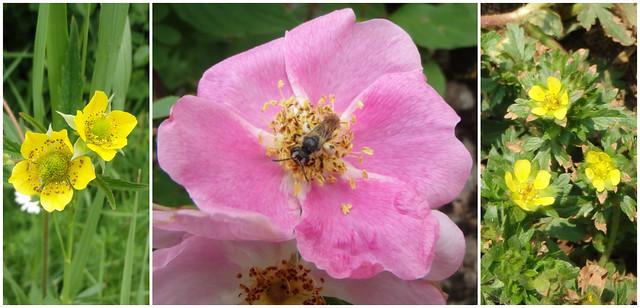 wild avens, wild rose, cinquefoil