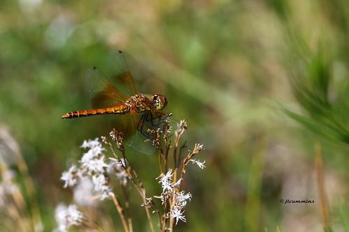 canon dragonfly washingtonstate yakimacounty canonef100mmf28macrousmlens yakimaareaarboretum