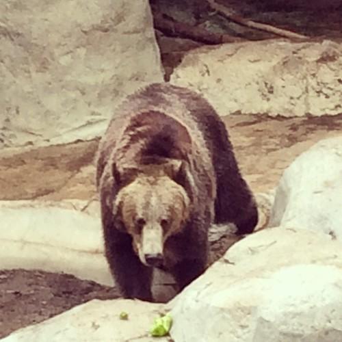 #brownbear #sandiego #zoo #kategoestocalifornia