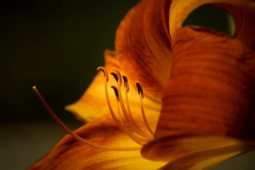 orange flower macro nature closeup garden photography backyard sony daylily sonyalpha sigma75300 sonyamount sonya77 sonyslta77 kimmienflorida