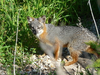 Island foxes of the Channel Islands