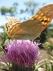 Butterfly feeding on thistles