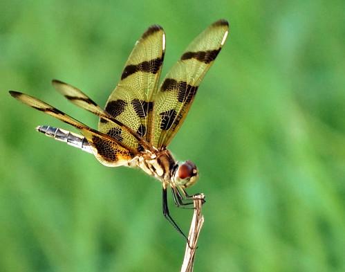 nature bug insect outdoors dragonfly hikebike noharriscountytexas nearbyhoustontexas faulkeygullytrail