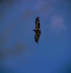 Juvenile Bald Eagle HDR_Fotor