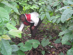 Issah Mounde Nsangou's son helps him to weed his Kouoptomo coffee plantation in Cameroon's West Region. Cameroon is now looking to revive the once thriving sector. Credit: Ngala Killian Chimtom/IPS